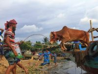 চোরাই পথে আসছে ভারতীয় গরু