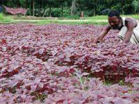 কুমিল্লায় সবজির উৎপাদন দ্বিগুণ বৃদ্ধি পেয়েছে