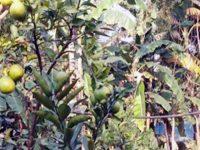 শেরপুরের নকলায় মাল্টা চাষ করে সফলতার মুখ দেখছেন আনোয়ার