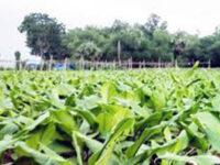 কুমিল্লায় কৃষকদের হলুদ চাষে আগ্রহ বাড়ছে